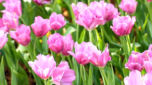 stockvideo's en b-roll-footage met tulip field - fresh start yellow