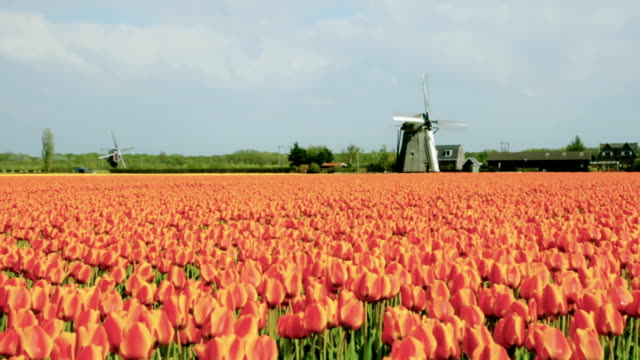 Tulip fields and windmills in Holland Classical scene of tulip fields and windmills in the Netherlands. tulip stock videos & royalty-free footage