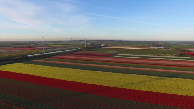 5 月に美しい晴れた朝に北のオランダのチューリップ畑。 - キューケンホフ公園点の映像素材/bロール