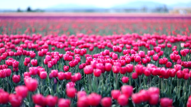 Tulip Fields video