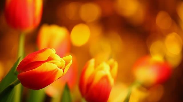 Tulip Flower Footage Studio quality Colours Bokeh