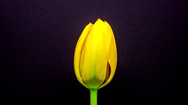 チューリップの花の成長タイムラプス - チューリップ点の映像素材/bロール