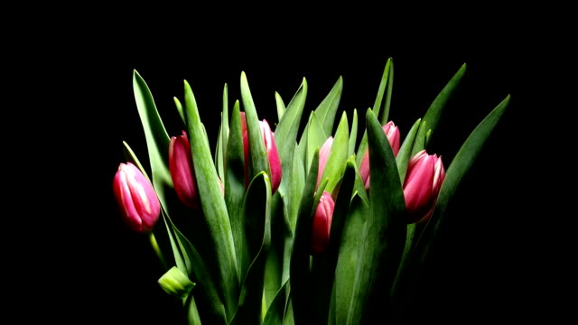 チューリップの花タイムラプス(時間 - チューリップ点の映像素材/bロール