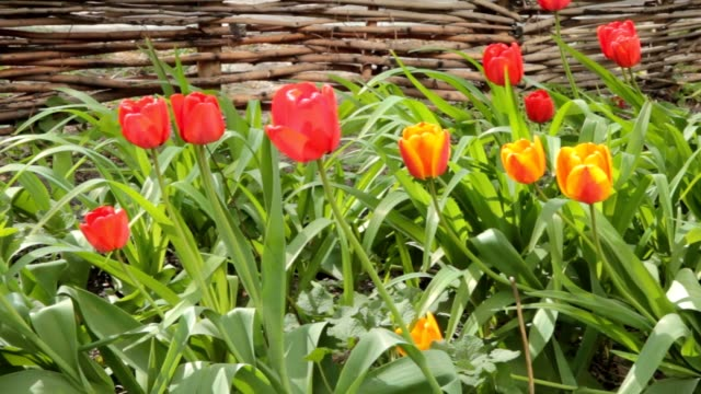Tulip flowers blooming in Spring. Colorful tulips blooms swaying in the wind. slow horizontal motion video