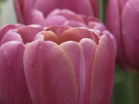Tulip flowers on meadow video