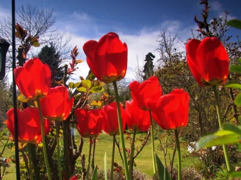 ntsc: tulipano - parte della pianta video stock e b–roll