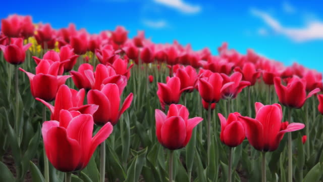 Tulip with sky background video