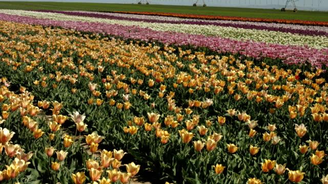 tulip,flower - colore ciliegia video stock e b–roll