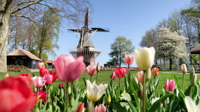 Tulips and Dutch windmill