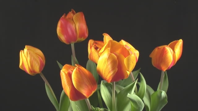 Tulips blooming video
