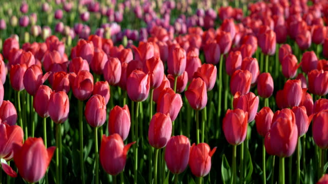 Tulips blossomed. Fresh flowers tulips swaying in the wind. A large number of tulips with pink buds create a pink field. The evening sun beautifully illuminates tulips. Sunny spring evening. video