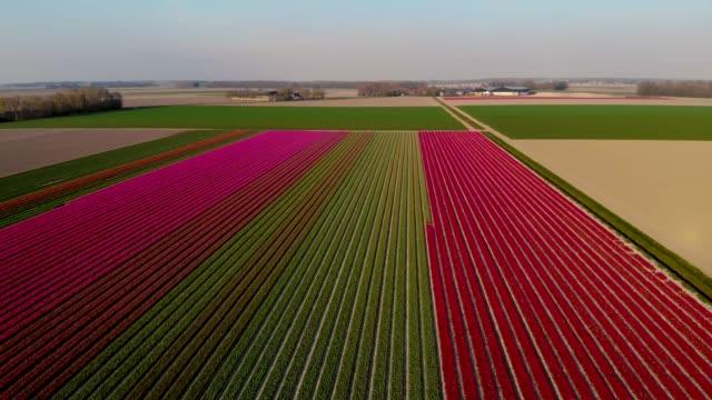 オランダのチューリップ畑、春の間に満開の球根領域オランダ、カラフルなチューリップフィールド、ドローンで撮影された春の間にカラフルなチューリップフィールド - キューケンホフ公園点の映像素材/bロール
