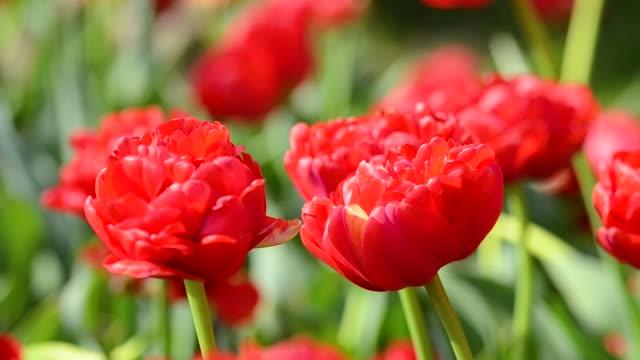 風に揺れるチューリップの花、美しいぼやけたブーケの背景を持つ春のチューリップの色 - チューリップ点の映像素材/bロール