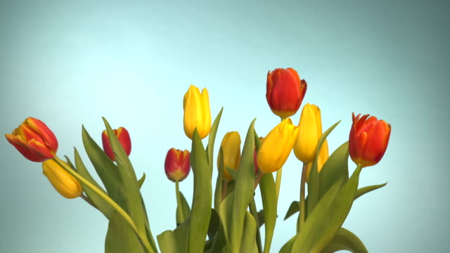 tulips flowers with wind blowing on blue 4k - marzo video stock e b–roll