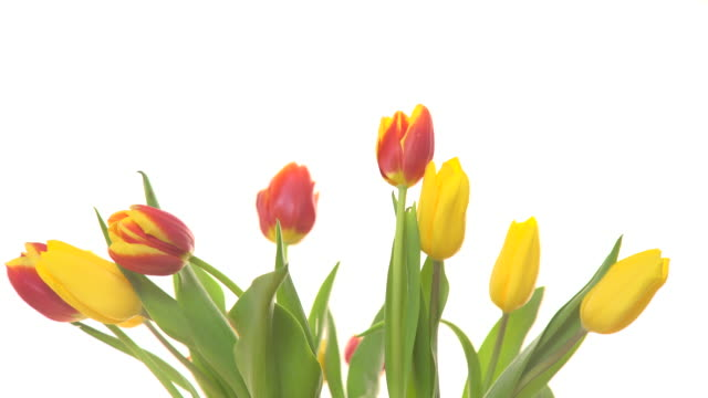 tulips flowers with wind blowing on white 4k - marzo video stock e b–roll