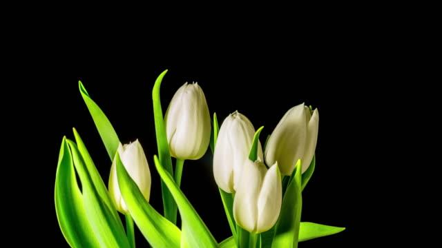チューリップ成長し、開花、4 k コマ - チューリップ点の映像素材/bロール