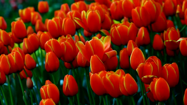 Tulpen im Garten – Video