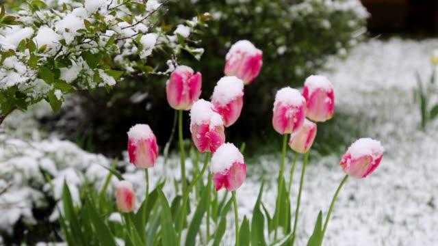 チューリップの雪 - 雪点の映像素材/bロール