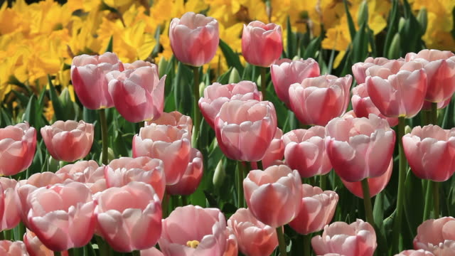 Tulips in the wind video