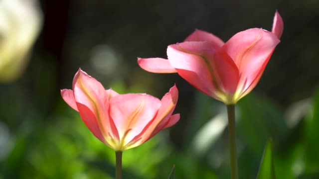 Tulips spring flowers in the garden video