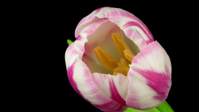 Tulips Time Lapse Six time lapse of different kind of tulips, close up of flower heads tulip stock videos & royalty-free footage