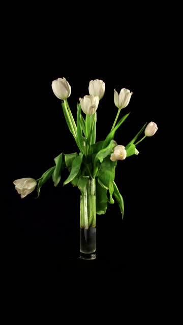 Tulips TIMELAPSE video
