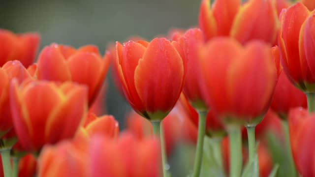 Tulips Close-up Tulip blossom sarabande. tulip stock videos & royalty-free footage
