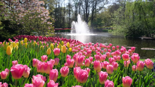 Tulips with fountain