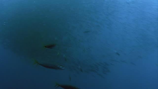 tuna attacks baitball video