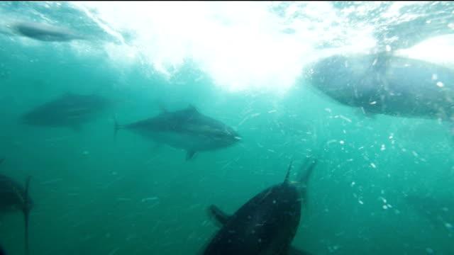 tuna feeding an underwater view of  farmed blue-fin tuna being fed tuna seafood stock videos & royalty-free footage