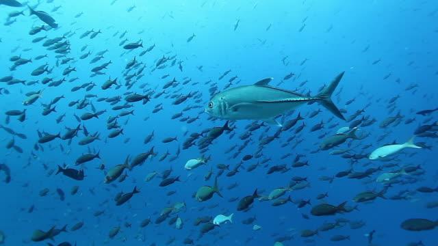 Tuna fish close-up in underwater marine life of Pacific Ocean