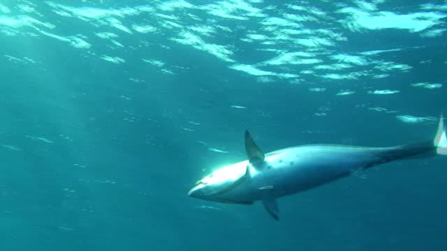 Tuna Fishing Underwater shot of catching a Tuna tuna seafood stock videos & royalty-free footage