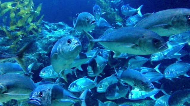 Tuna The footage of tuna fish in the sea. tuna seafood stock videos & royalty-free footage