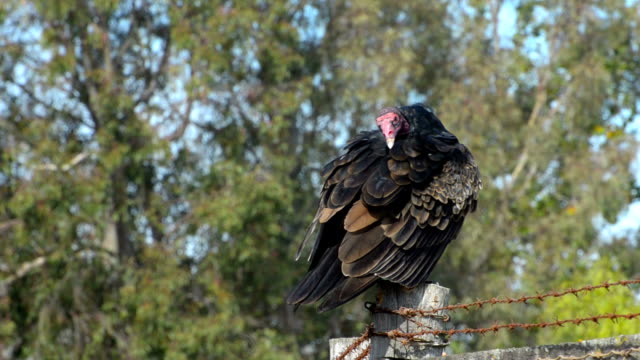 turkey vulture  Cathartes aura Turkey vulture, Cathartes aura, on fence post. San Luis Obispo, California, USA. new world vulture stock videos & royalty-free footage