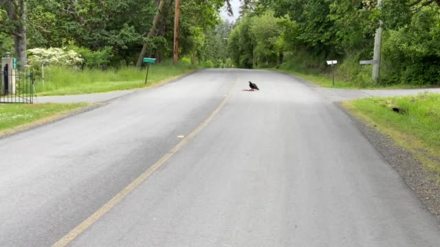 Turkey vulture eating roadkill Cycling towards a turkey vulture in the middle of the road new world vulture stock videos & royalty-free footage