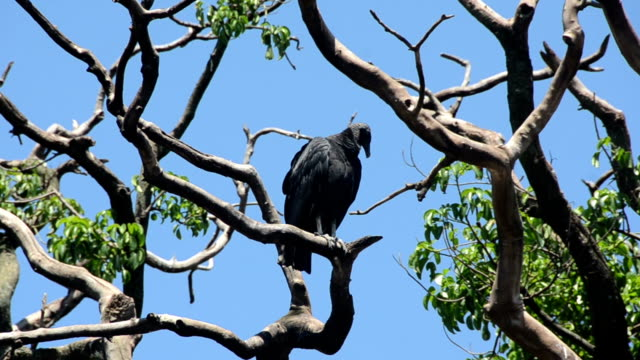 Turkey vulture Turkey vulture seen in the Florida Everglades new world vulture stock videos & royalty-free footage