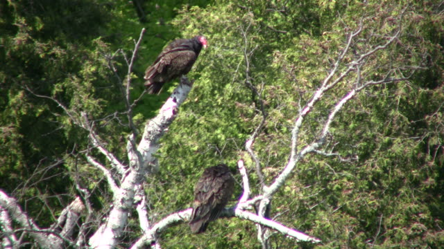 Turkey vultures hang around a tree, cooling off (High Definition) Turkey vultures are lazily hanging around an old tree, trying to cool off from the heat. new world vulture stock videos & royalty-free footage