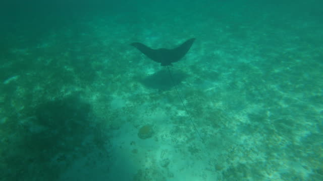 stockvideo's en b-roll-footage met turken en caicos sea life onderwater sting ray - providenciales