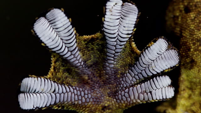 Turnip tailed gecko (Thecadactylus solimoensis) Underside of sticky foot viewed while climbing on glass gecko stock videos & royalty-free footage