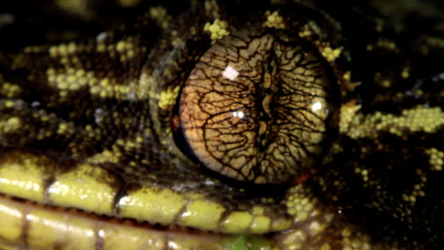 Turnip tailed gecko (Thecadactylus solimoensis) Cleaning eye with its tongue gecko stock videos & royalty-free footage