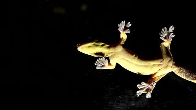 Turnip tailed gecko (Thecadactylus solimoensis) video