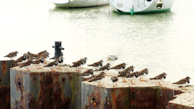 Turnstones (Arenaria interpres) roosting on harbour wall video