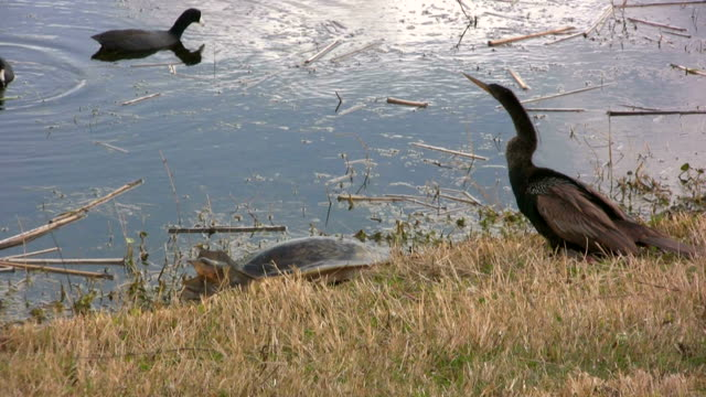 Turtle and Anhinga large soft-shelled turtle and a fishing bird, the Anhinga, on the banks of a wetland watching some Coots animal shell stock videos & royalty-free footage