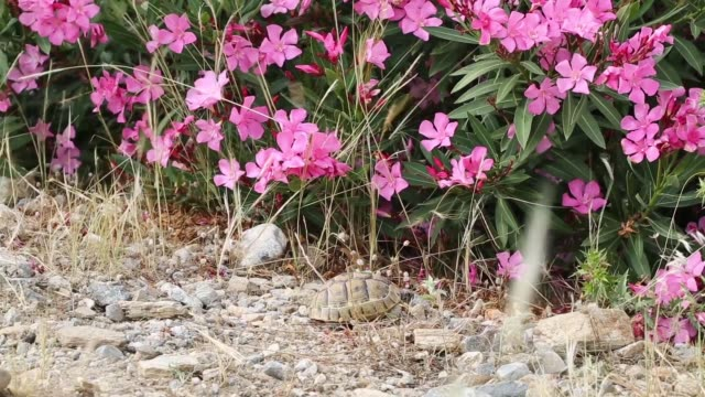 Turtle and pink 'Oxalis' plant/Aydin Aydin/Turkey 05/11/2015