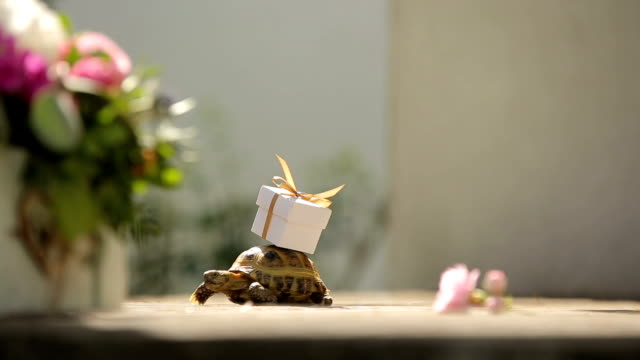turtle brining up a present on tortoise shell video