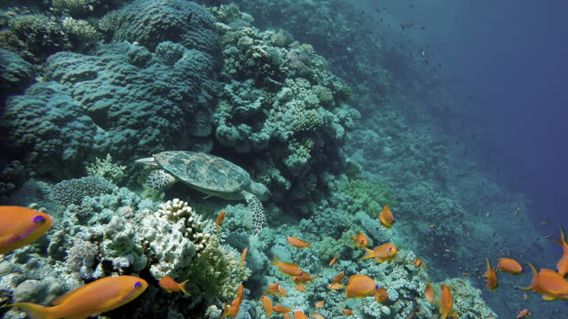 turtle,  Coral reefs and tropical fish. Beautiful tropical fish and coral reef. video