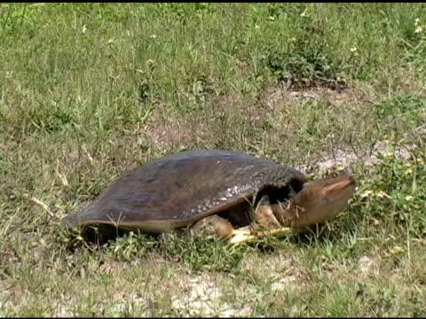 stockvideo's en b-roll-footage met turtle covering up eggs - vrouwtjesdier