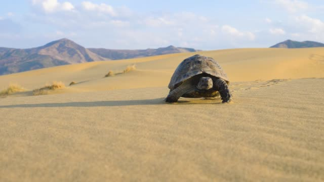 turtle crawling in the desert