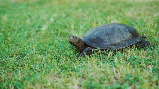 Turtle crawling on the ground among the plant. Turtle crawling on the ground among the plant. A turtle running into the woods tortoise stock videos & royalty-free footage