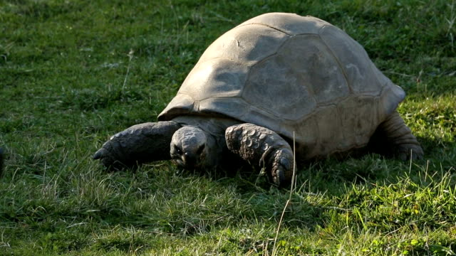 Turtle Eating Grass A giant turtle slowly eating grass on a warm afternoon day. tortoise shell stock videos & royalty-free footage